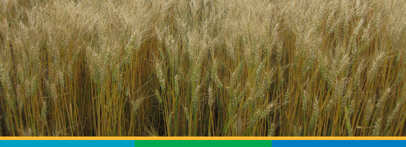 PlainsGold Hard Red Winter Wheat | PlainsGold